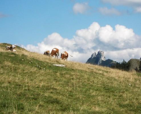 Kühe vor der Kampenwand